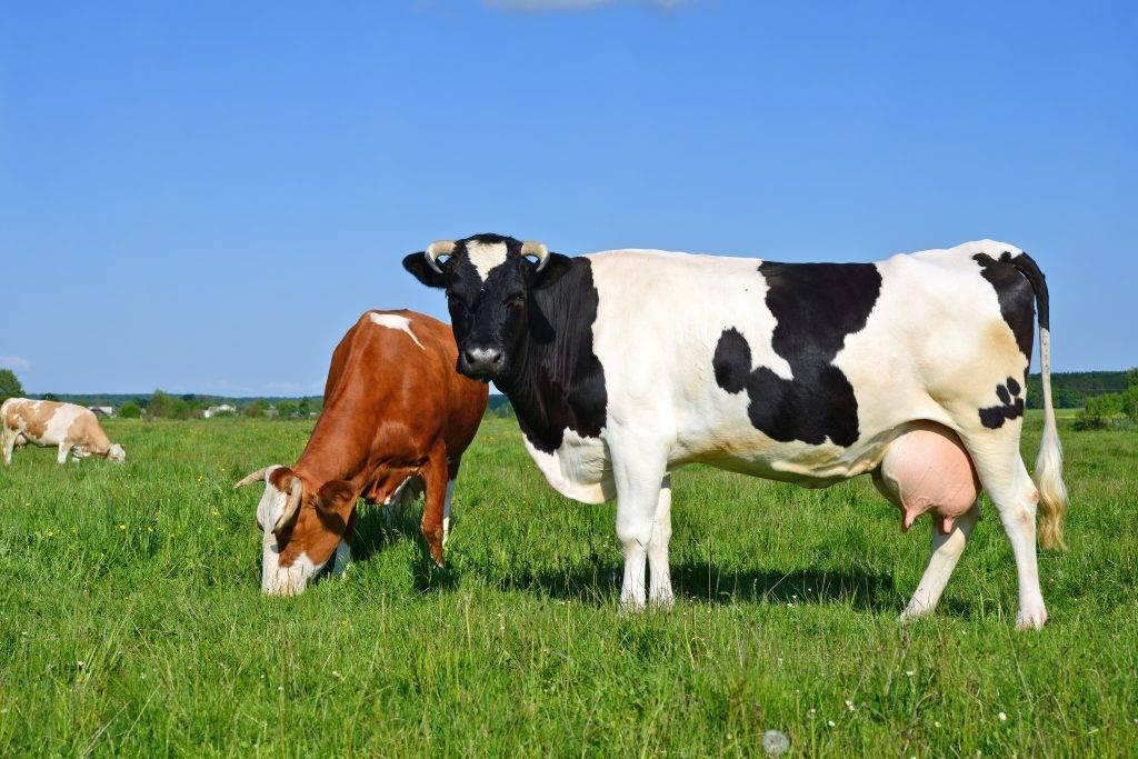 фото дойные коровы