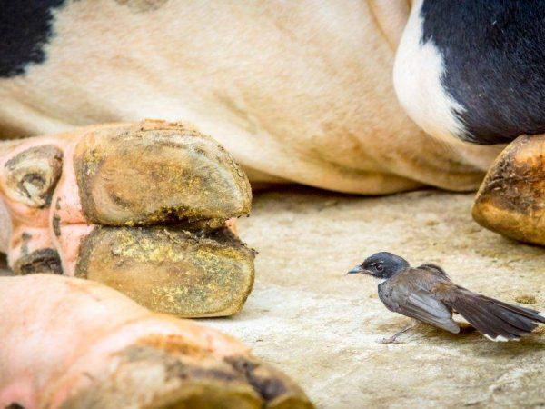 Глисты у коров и телят