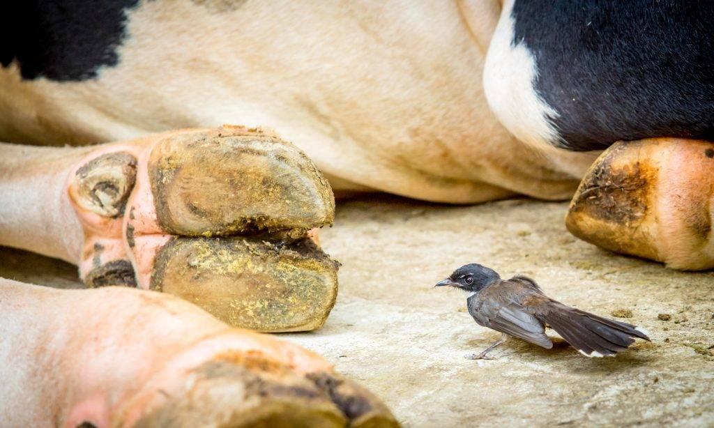 Профилактика глистов у коров: популярные средства