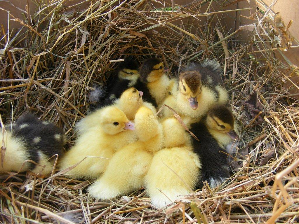 Мускусная утка (индоутка): разведение, выращивание, содержание. Режим инкубации мускусных уток