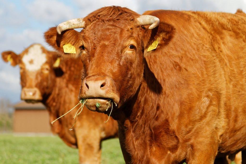 Как запустить желудок у коровы в случае закупорки?