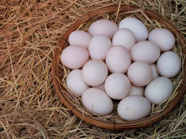 Когда индоутки начинают нести яйца