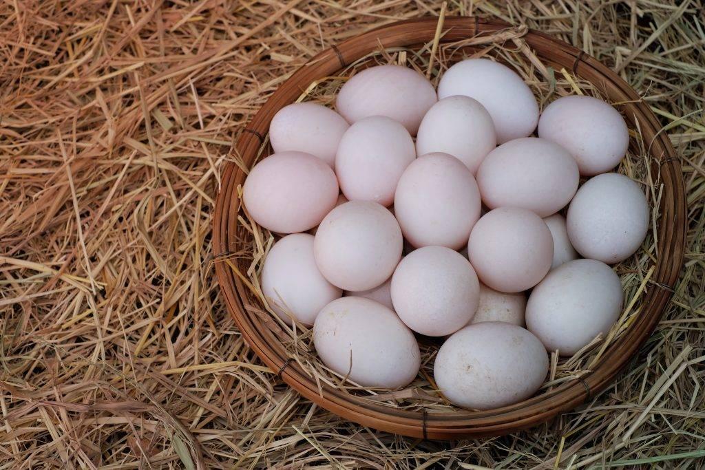 Когда начинают нестись утки в домашних условиях, сколько яиц