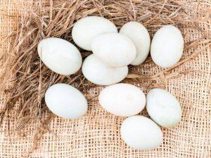 Когда утки начинают нести яйца