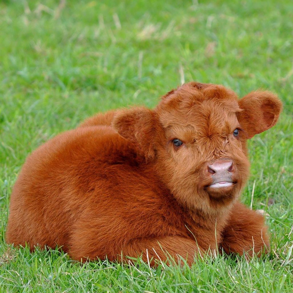Комолая корова это какая описание породы характеристика