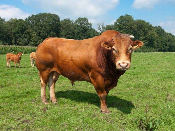 Лимузинская порода коров