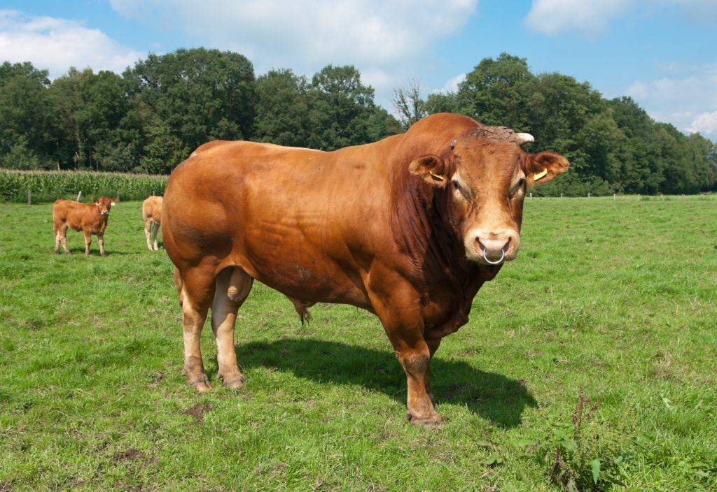 Лимузинская порода коров и бычков: обзор, фото