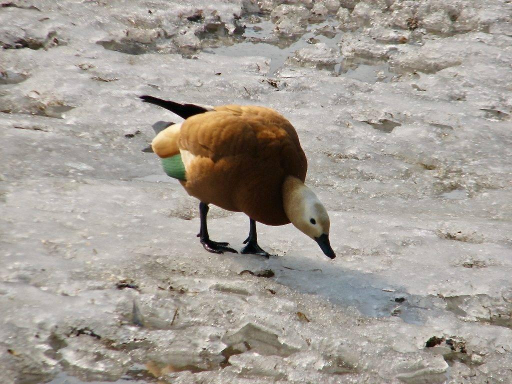 Огарь или красная утка описание породы фото голос