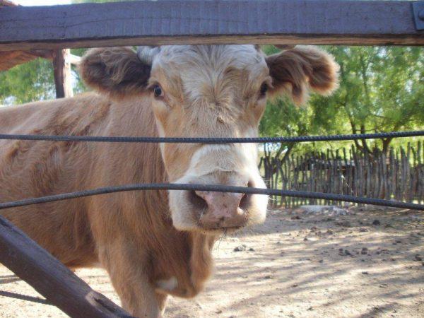 Оспа у коров