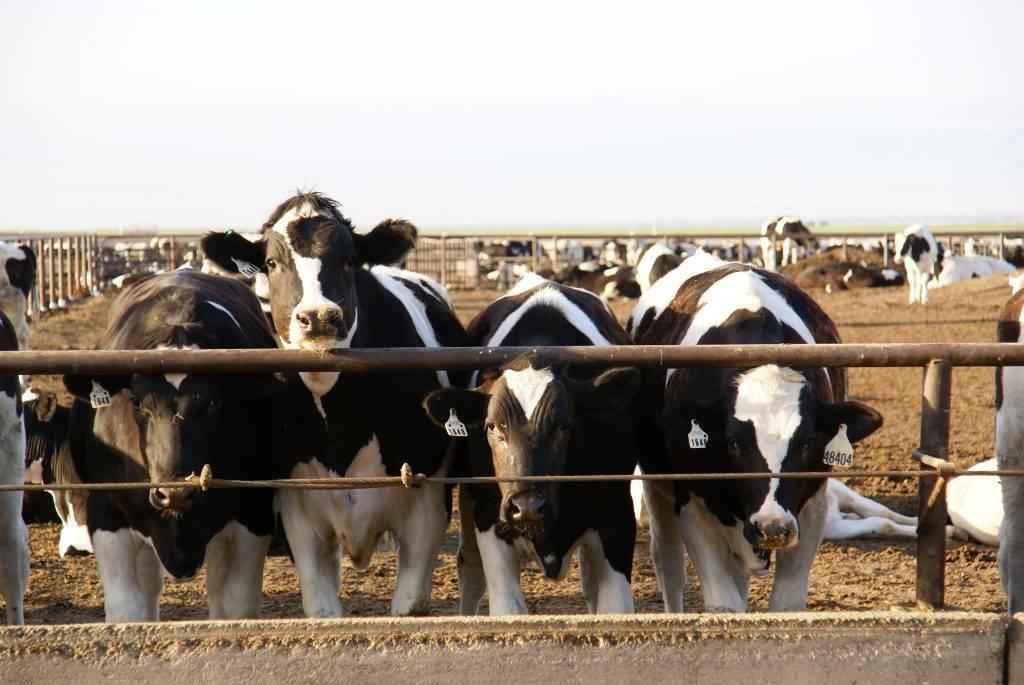 Рацион кормления и откорм бычков на мясо в домашних условиях