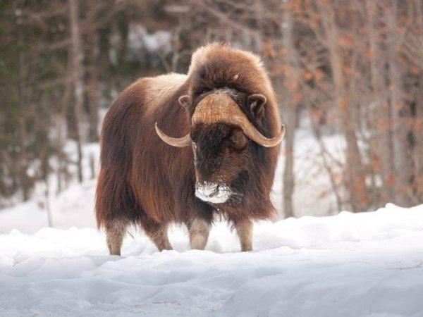 Шлемоносный мускусный бык