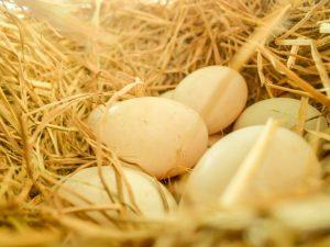 Овоскопирование утиных яиц по дням