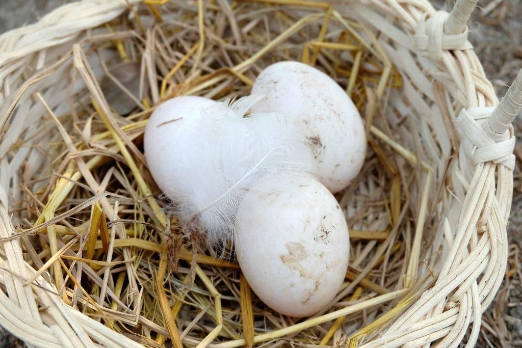 Причины снижения яйценоскости - Полезный журнал Good-Tips.PRO