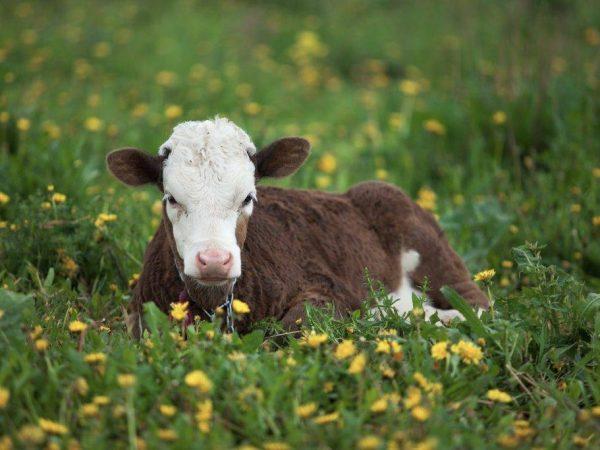 Почему теленок не встает на ноги