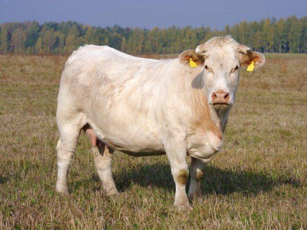 Порода коров Шароле