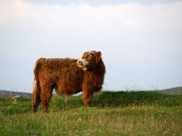 Шотландская корова