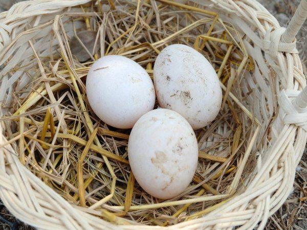 Сколько дней индоутка сидит на яйцах