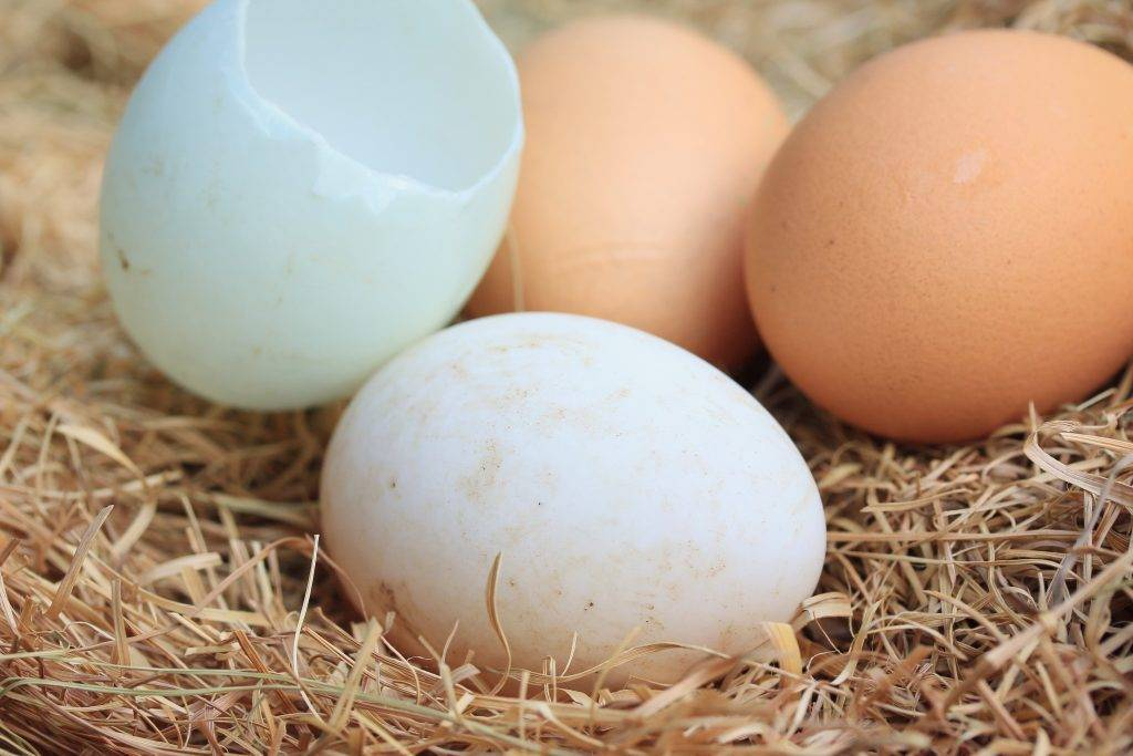 Сколько утка сидит на яйцах необходимость инкубации утиных яиц видео