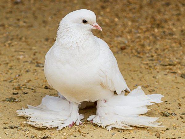 голубь агаран