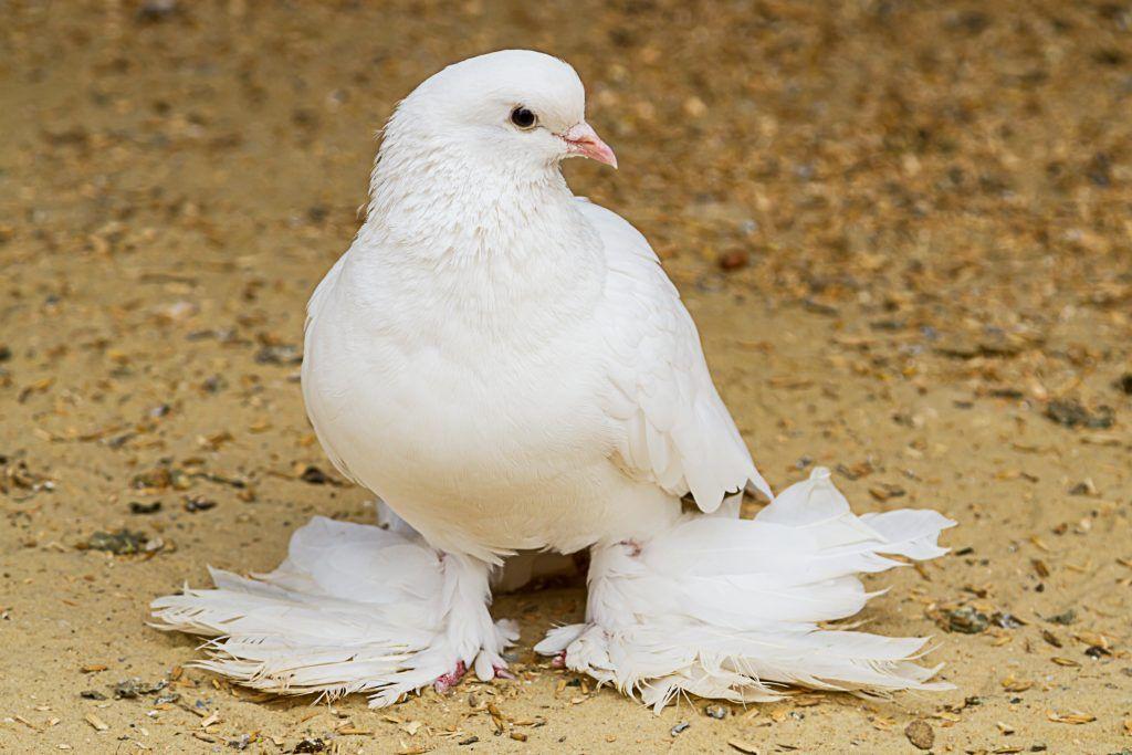 Голуби агаранытуркменские описание бойной породы фото