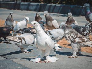 Благодарненские голуби