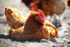 Болезнь Марека у кур и цыплят