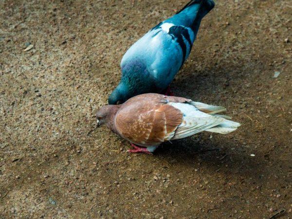 Арникюр ньюкасла лечить болезнь у голубей