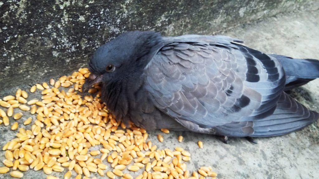Чем нужно кормить птенца голубя в домашних условиях