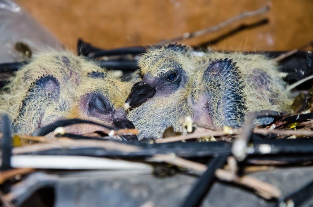 Как выкормить птенца голубя? - Наши лапки