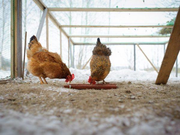 Чем кормить кур-несушек зимой