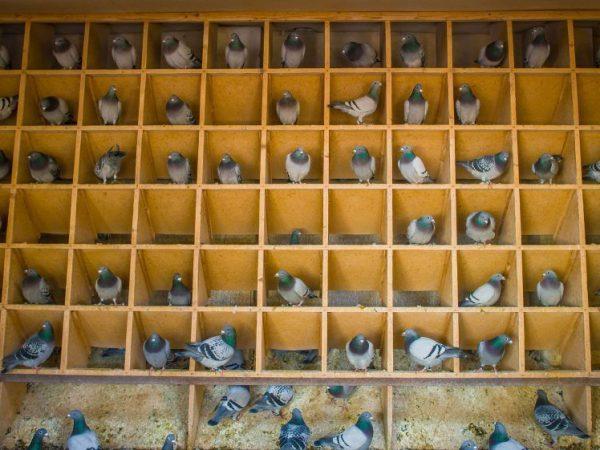 домашние голуби россии