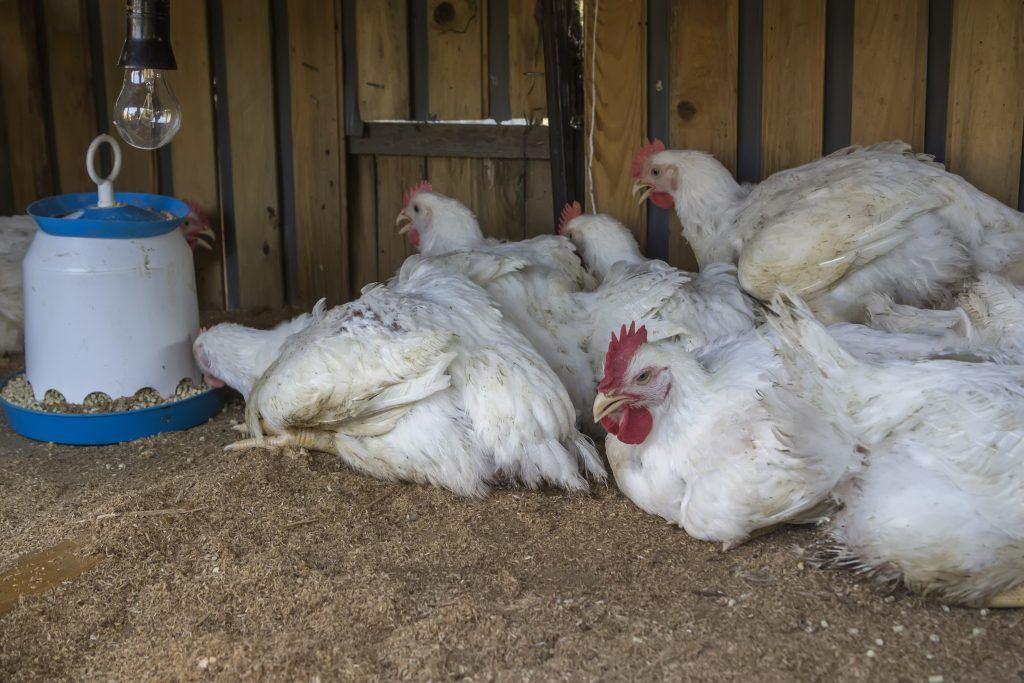 Глисты у курицы можно ли ее есть