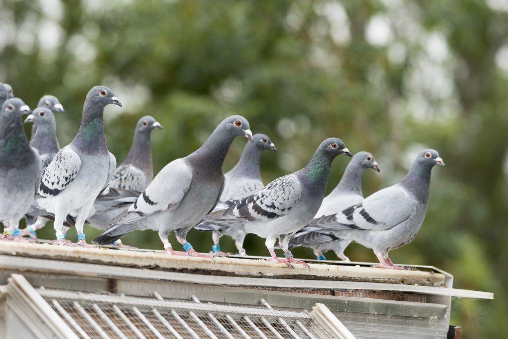 все о голубях фото картинки можете разместить свою