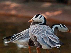 Горные гуси