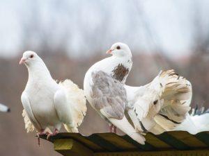 Ижевские высоколетные голуби
