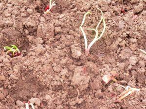Как и когда сажать лук-севок