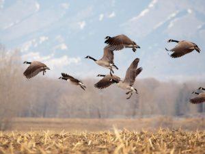 Как манить гуся