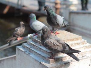 Как поймать голубя