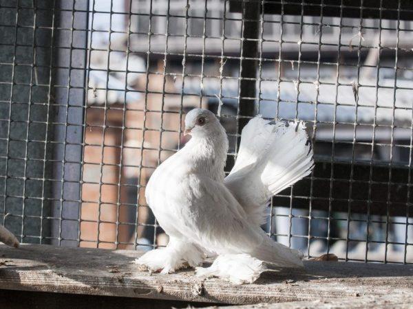 Касаны — невероятные голуби-артисты 223