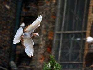 Кировоградские бескружные голуби