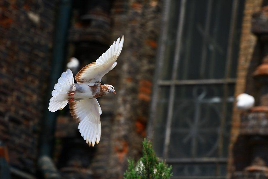 Кировоградские бескружные голуби: фото, описание