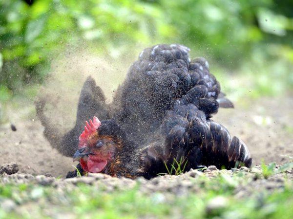 Куриный клещ