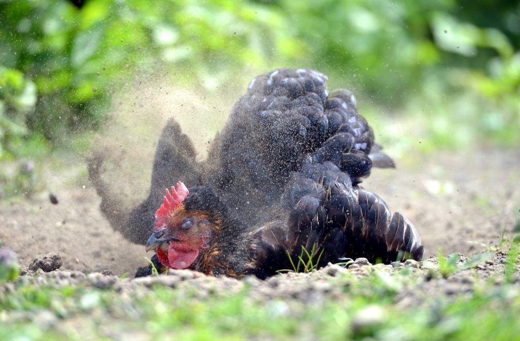 Как избавиться от куриного клеща: меры борьбы и профилактики