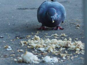 Кокцидиоз у голубей