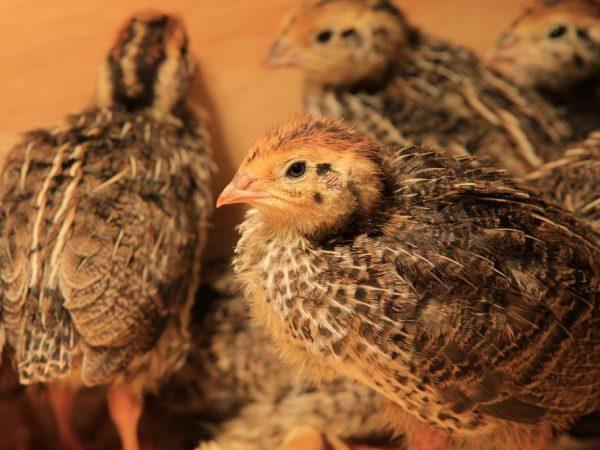 Чем кормить птенцов перепелки?