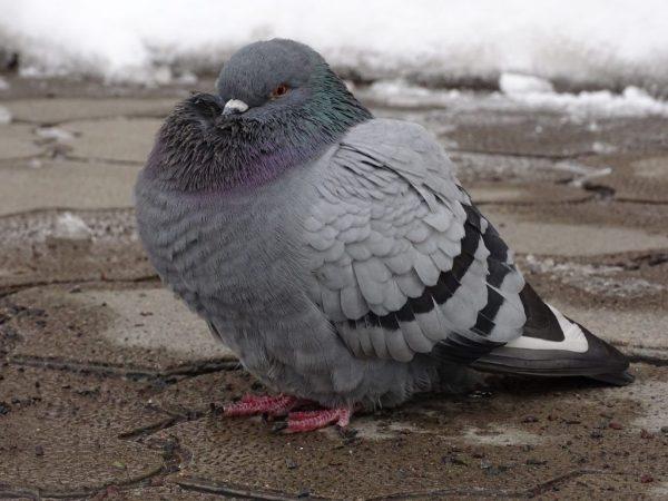Лозеваль для голубей