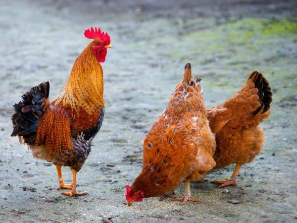 Породы мясояичных кур