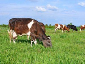Нодулярный дерматит коров