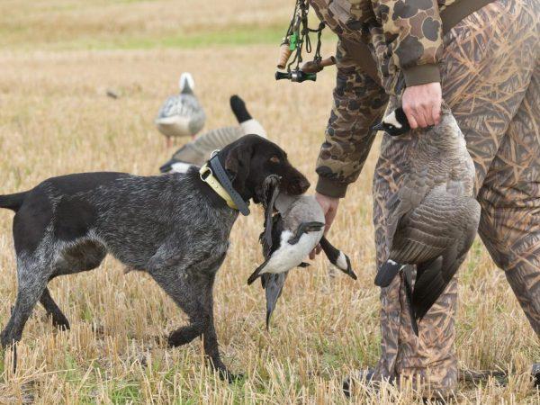 Охота на гуся весной и осенью