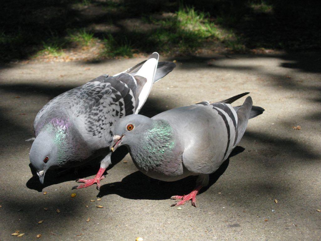 Оспа голубей: чем лечить болезнь, симптомы